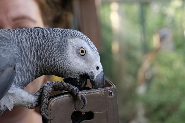 papoušek zkoumá mobil.jpg